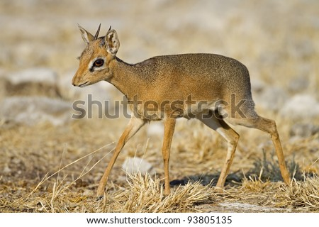 Kirks(Damara) Dik- Dik; Madoque kirkii; Namibia - stock photo