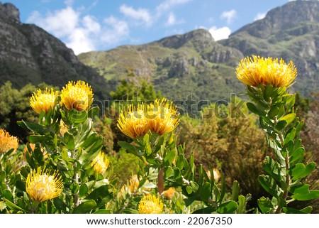 Kirstenbosch botanical garden,Cape Town - stock photo