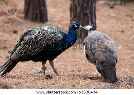 Kissing birds peacocks. Love concept - stock photo
