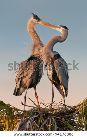 Kissing great blue herons