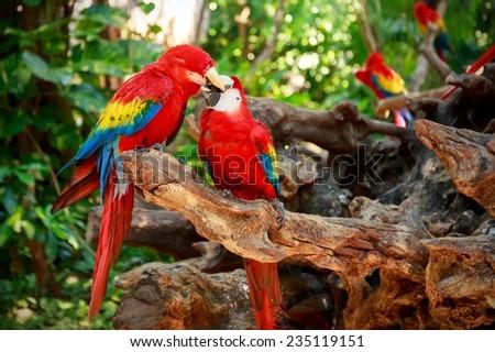 Kissing parrots - stock photo
