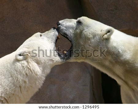 Kissing Polar Bears - stock photo