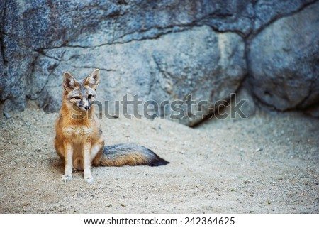 Kit Fox. Fox Species of North America. (Vulpes Macrotis) - stock photo