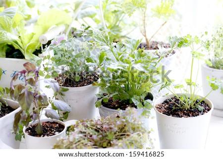 Kitchen garden of herbs windowsill - stock photo