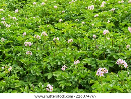 kitchen garden, the blossoming potatoes - stock photo