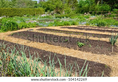 kitchen garden with straw mulch - stock photo