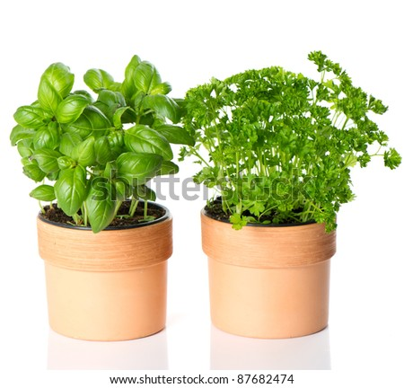kitchen herbs basil and parsley in pots on white background - stock photo