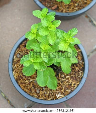 Kitchen Mint in pot - stock photo