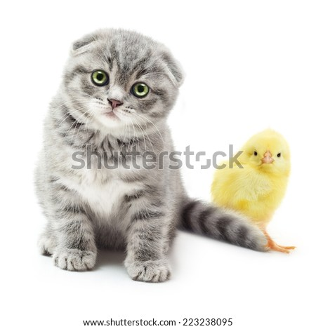 Kitten and cute little chicken on white background.British Shorthair cat. - stock photo