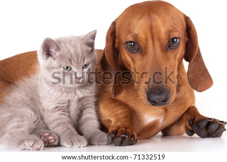 Kitten and dog dachshund - stock photo