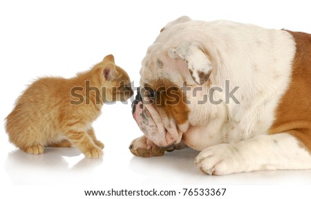 kitten and english bulldog nose to nose with reflection on white background - stock photo