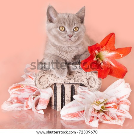 kitten and  flower giperastrum - stock photo