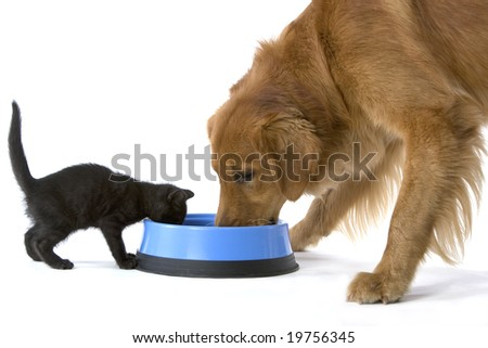 Kitten and Golden Retriever dog share a bowl of food on a white background