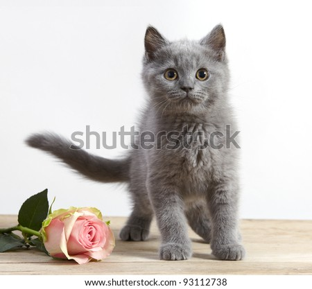 kitten and pink rose - stock photo