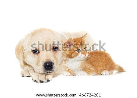 kitten and puppy Labrador on a white background isolated