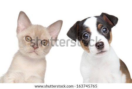 Kitten and puppy together. Close-up portrait on white backgound - stock photo