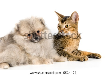 Kitten and the puppy of the spitz-dog - stock photo