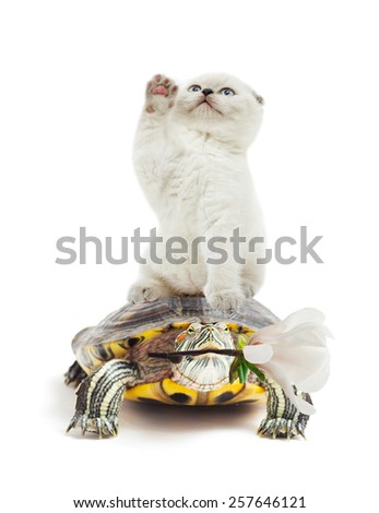 kitten and turtle on a white background isolated - stock photo