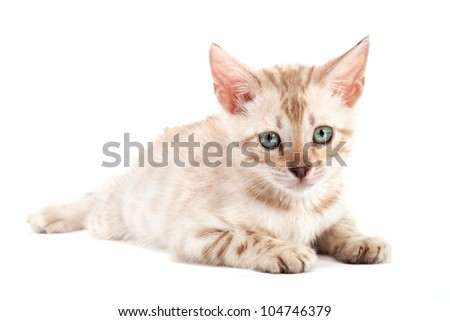 Kitten  Bengal breed. NO Isolated