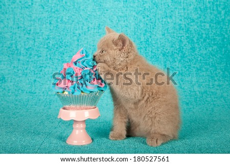Kitten biting into faux cupcake on cupcake stand against bright blue background - stock photo