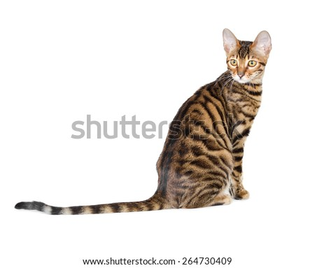 Kitten breed toyger isolated on white background. - stock photo