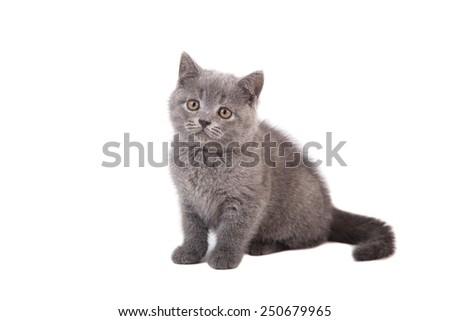Kitten British blue gray on white background. Two months. - stock photo