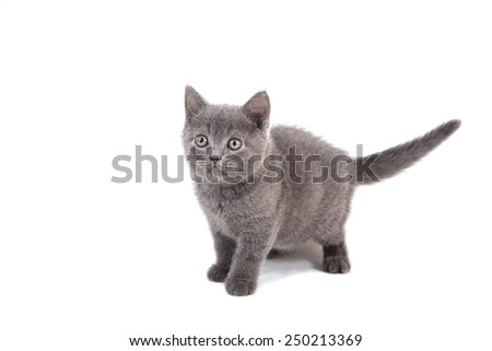 Kitten British blue on white background. Cat stand. Two months. - stock photo