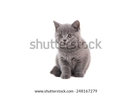 Kitten British blue on white background. Two months.