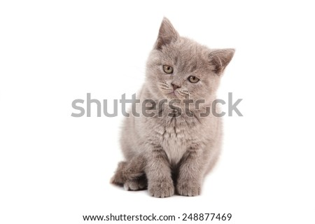 Kitten British lilac beige on white background. Two months. - stock photo