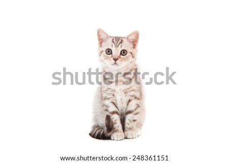Kitten British striped brown on white background. Kitten two month.