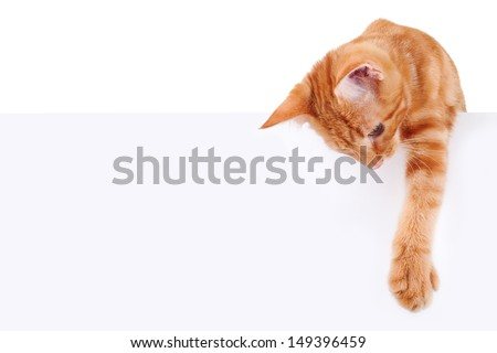 Kitten - cat holding sign or banner isolated on white - stock photo
