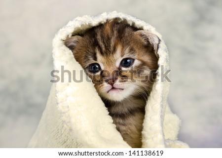 Kitten closed in towel warm sleepy small white - stock photo