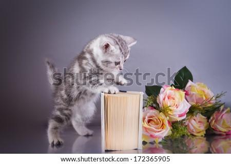 kitten, cute, Scottish - stock photo