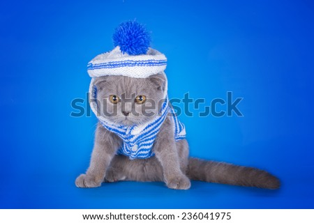 kitten dressed as a sailor on a blue background isolated - stock photo