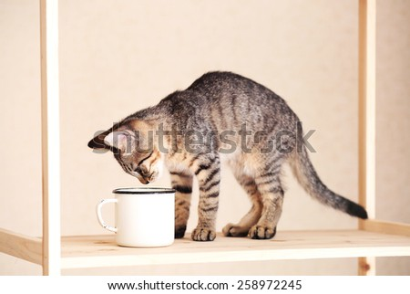 Kitten drinking from mug, indoors - stock photo