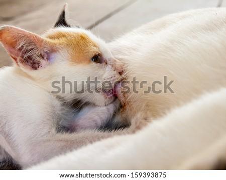 Kitten drinking milk from mom's milk - stock photo