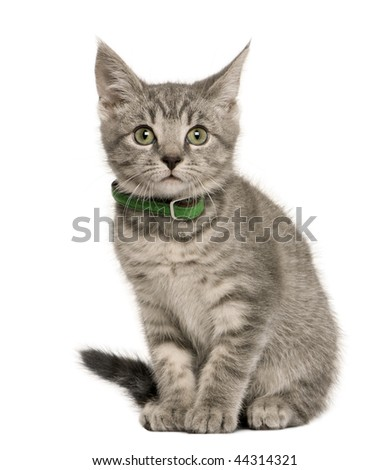 Kitten European cat, 3 months old, sitting in front of white background - stock photo
