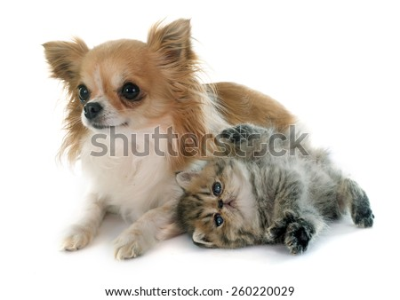 kitten exotic shorthair and chihuahua in front of white background - stock photo