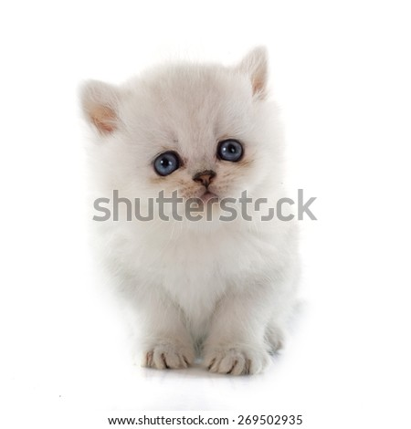 kitten exotic shorthair in front of white background - stock photo