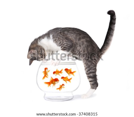 Kitten Fishing for Gold Fish in an Aquarium Bowl - stock photo