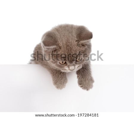 Kitten hanging over blank poster-board. isolated on white background - stock photo