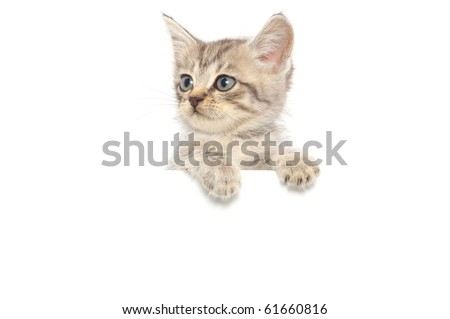 Kitten hanging over blank posterboard, you add the message. - stock photo