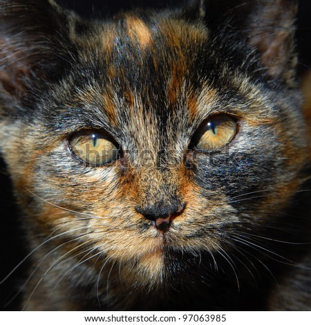 Kitten has unusual coloring of orange, black and brown.  Closeup of cats face shows amber eyes narrowed to slits in the bright sunshine. - stock photo