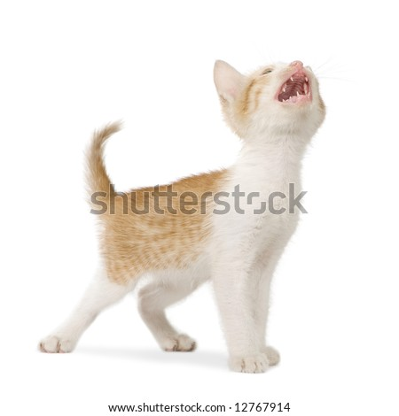 Kitten in front of a white background - stock photo