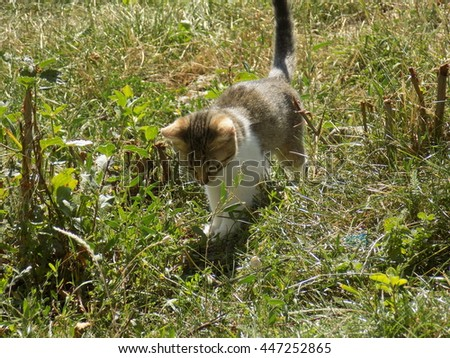 Kitten in grass. White and gray / brown cat walking.