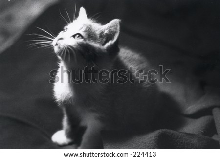 kitten in spotlight - stock photo