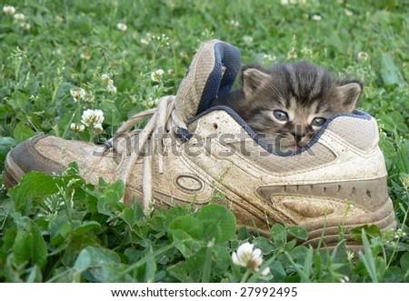 Kitten in the shoe - stock photo