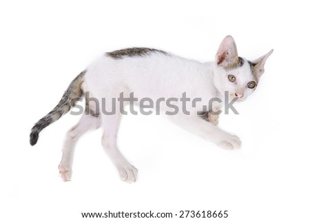 kitten isolated on a white background.