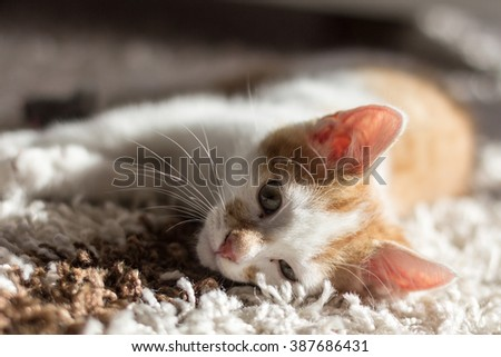 Kitten Laying on the Carpet in the sun