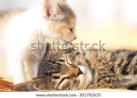 kitten  licks sleeping cat